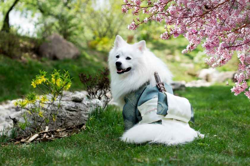 adult medium coated white dog standing on grass field beside a cherry blossom tree